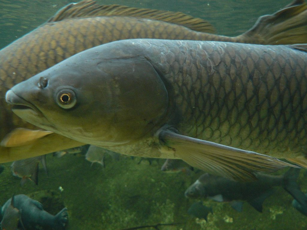 Mystery Plants Spreading in Lake Murray Coves and What the Carp are Doing About it.
